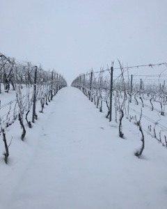 Winnica płochockich zima